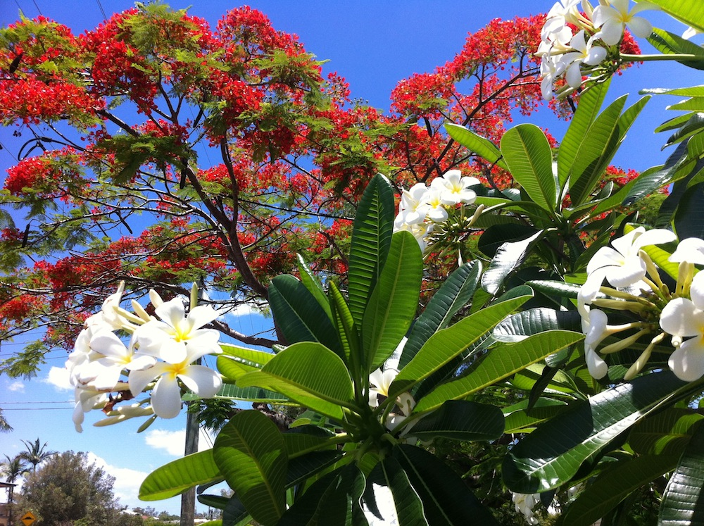 Poinciana and frangipani small
